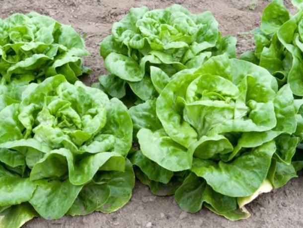 На Ставрополье увеличится производство салатных культур закрытого грунта