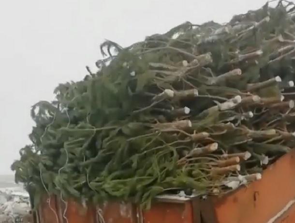 «До слез»: видео с сотней выброшенных после праздников елок вызвало споры у ставропольчан