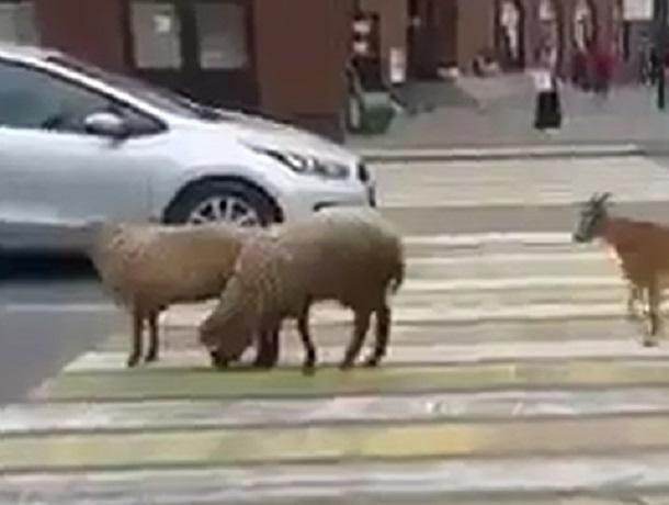 Гуляющие по центру Пятигорска овцы и козы смутили местных жителей