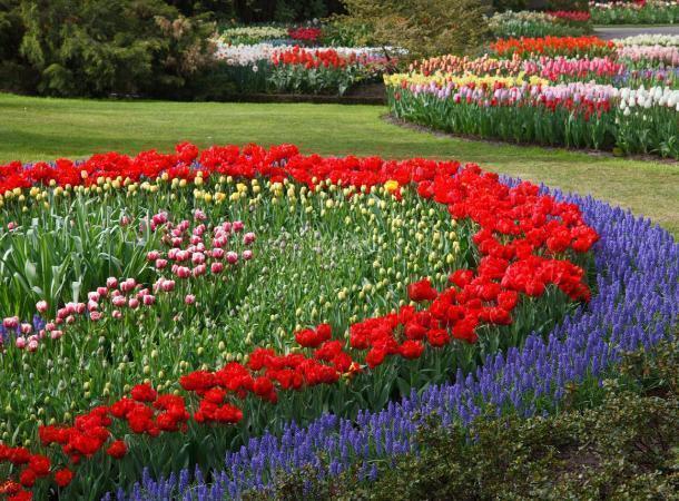 Вближайшие дни около 100 тыс.  тюльпанов распутятся вСтаврополе