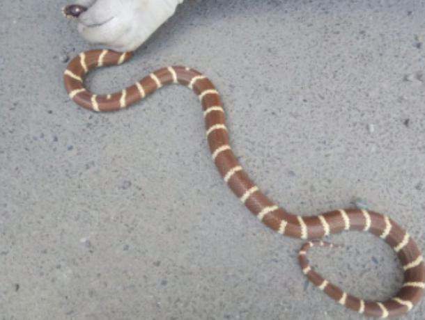 Сбежавшая экзотическая змея напугала жителя Ставрополя