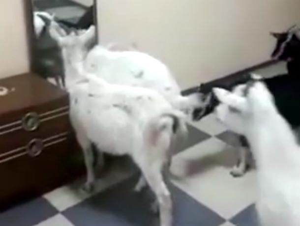 Вторжение стада коз в подъезд сняли на видео жители Ставрополя