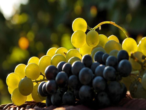 На Ставрополье убирают столовый виноград