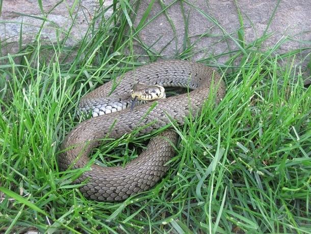 Ядовитая змея заползла в дом на кровать и привела в ужас жительницу Ставрополья