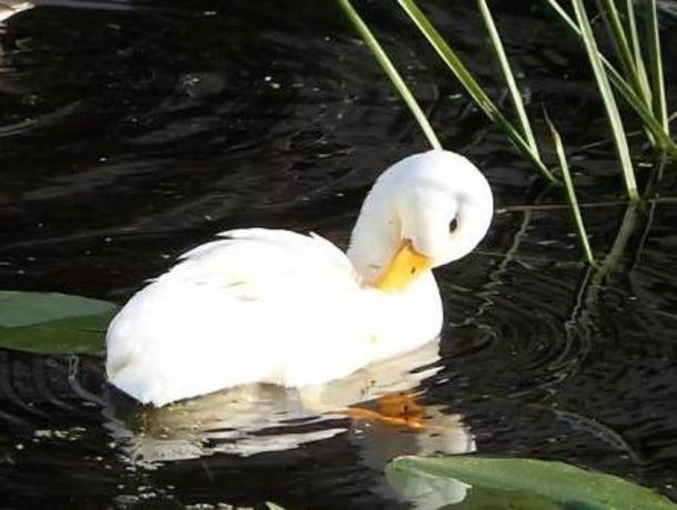 Редкостный утенок-альбинос появился насвет возере вЕссентуках