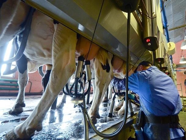 Новый крупный племзавод по выпуску молока открыли на Ставрополье