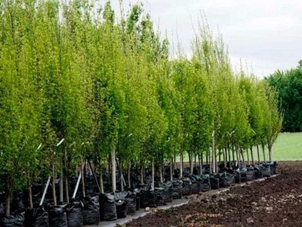Тысячи молодых деревьев иновых цветов украсят Ставрополь в2015 году