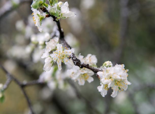 12апреля могут погибнуть цветы абрикосов ивишен