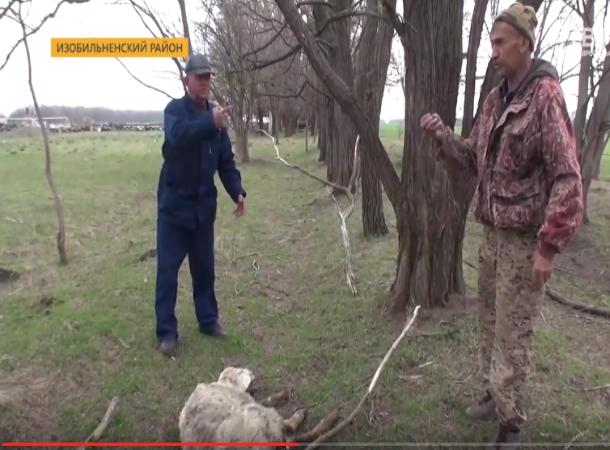 Стая волков задрала десяток овец за ночь в Изобильненском районе Ставрополья