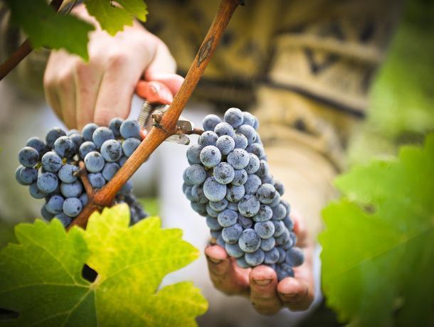 Ставрополье может войти в число лучших винодельческих регионов мира