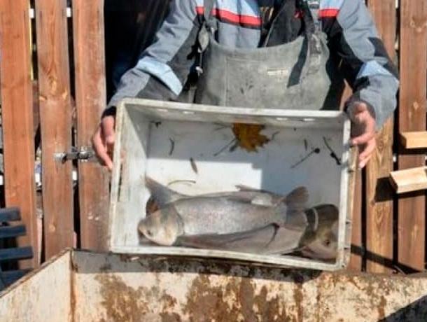 В Ессентукское озеро выпустили свыше тонны живой рыбы