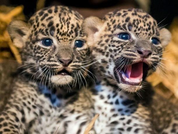 Генпрокуратура Ставрополя добилась блокировки сайта собъявлением опродаже детенышей леопарда