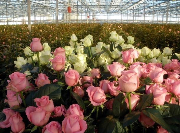 Миллионы роз зацветут наСтаврополье