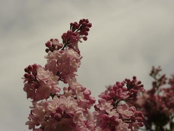 Райским лечебным запахом сирени окутан ботанический сад Ставрополя