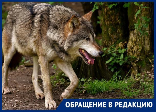 «Стая волков нападает на людей, но никому нет до этого дела», - ставропольчане обратились за помощью