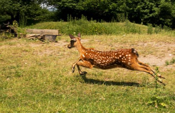 В парке Невинномысска поселились еще две самки оленя