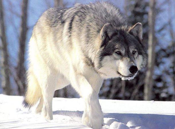 Убивший вместо волка человека охотник предстанет перед судом наСтаврополье