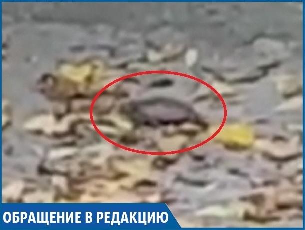 «Бедную черепашку забыли в спущенном пруду в парке», - ставропольчанка