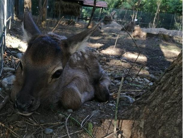 Олененок родился в парке «Шерстяник» на Ставрополье