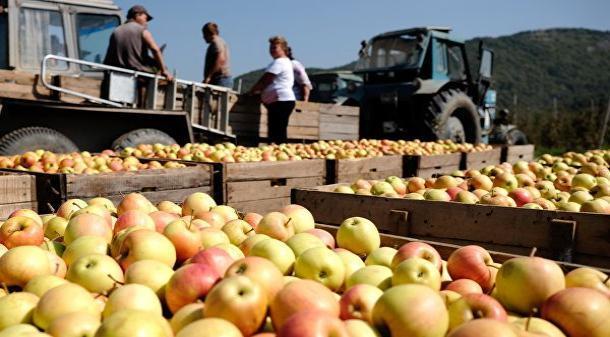 На Ставрополье началась уборка янтарной ягоды и плодовых
