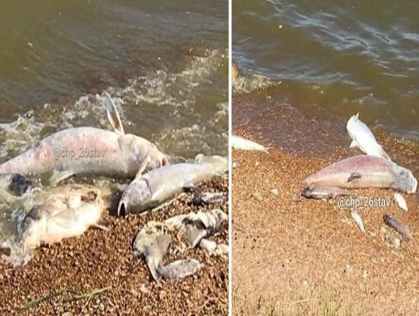 Эксперты озвучили причину массовой гибели рыбы в Новомарьевском лимане на Ставрополье