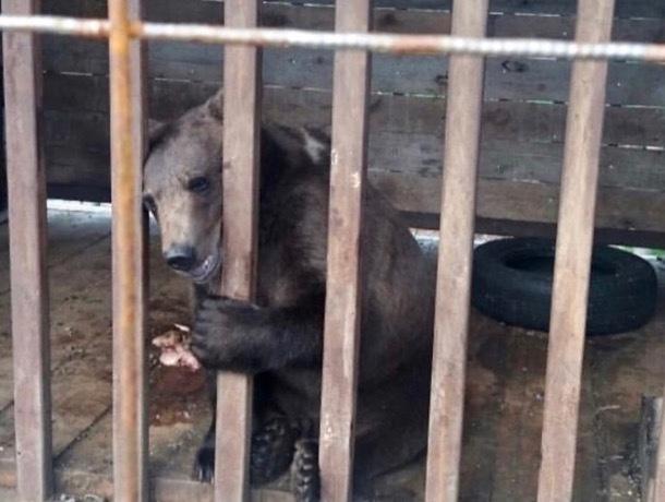 Глава Ставрополья бросился спасать медвежонка