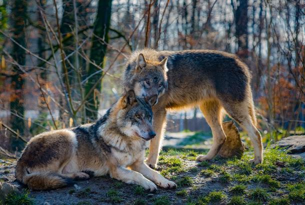 Пострадавшим от нападения волков людям на Ставрополье оказывается медицинская помощь