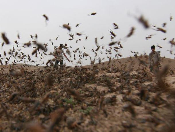 Обработку полей отсаранчи завершают в11 районах Ставрополья