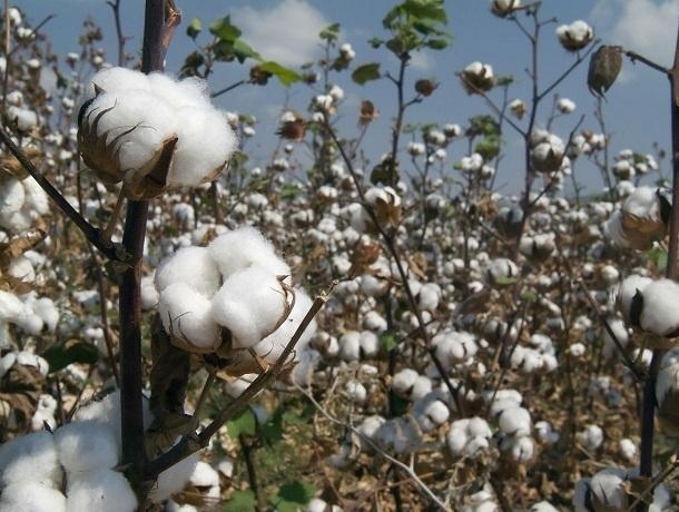 Ставрополье засеют тремя тысячами гектаров хлопка