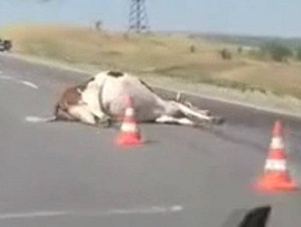 «Не добежала»: в пригороде Ставрополя насмерть сбили корову