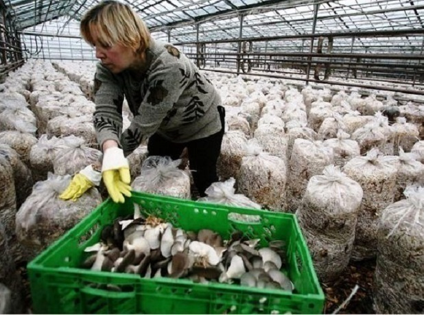 Импортозамещающих червей скоролевскими грибами будут растить наСтаврополье