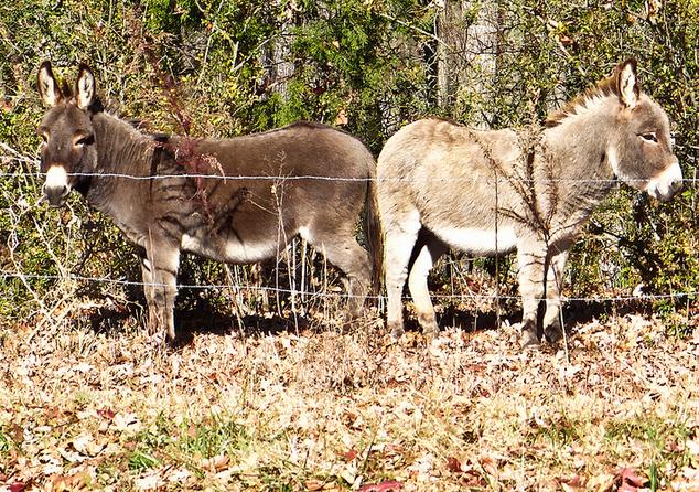 Ослицы Оля и Шоколадка гуляли по Пятигорску