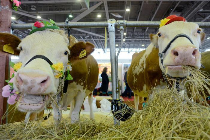 В Ставропольском крае быка- и корову-рекордсменов показали на выставке