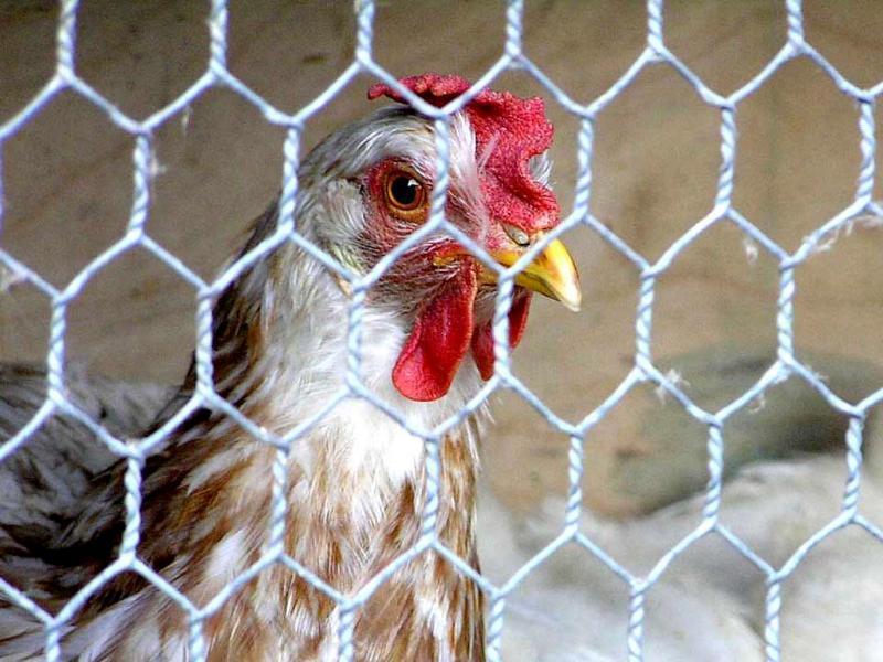 Белоруссия запретила ввозить Ставропольскую куриную продукцию