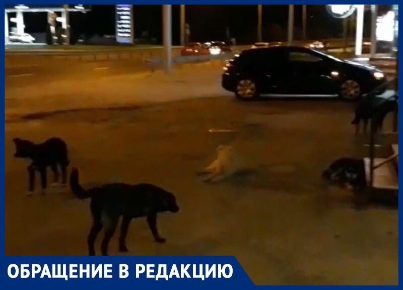 Стая бездомных агрессивных собак пугает жителей Ставрополя