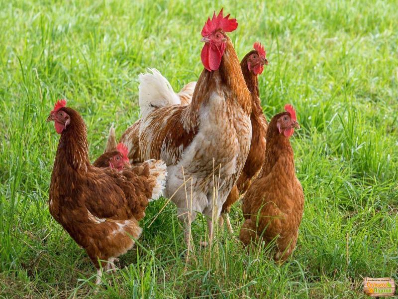 Инфекционную болезнь обнаружили у домашних кур на Ставрополье