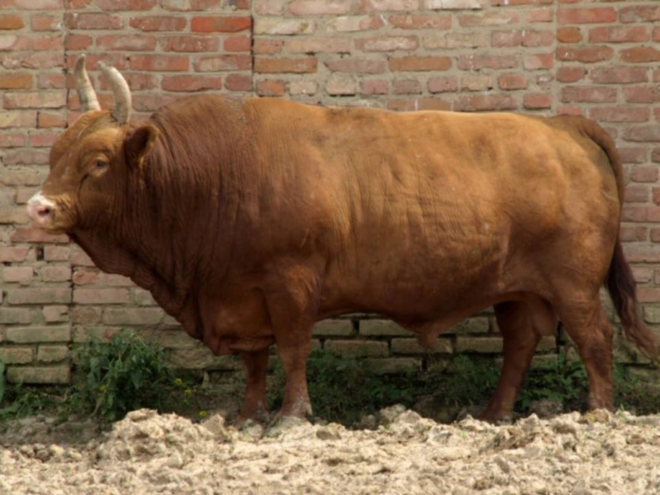 Новый тип калмыцкого скота выведен на Ставрополье
