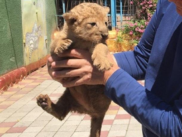 Милая львица родилась в ставропольском зоопарке