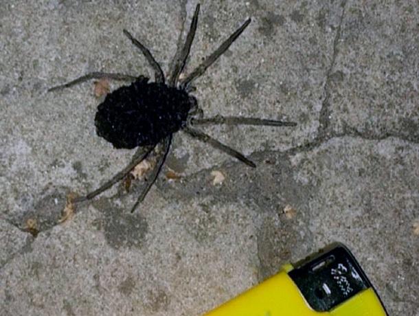 Жуткий паук с детёнышами возле гипермаркета напугал жителей Ставрополя