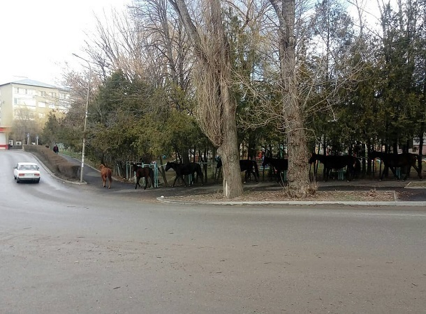 Табун лошадей пробежал по улицам Кисловодска