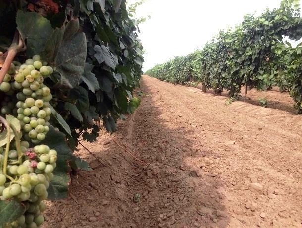 Виноградари на Ставрополье уверенно наращивают производство